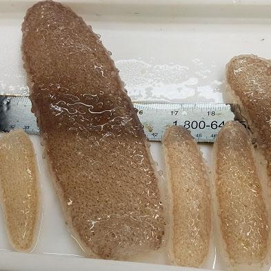pyrosomes