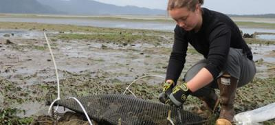 Graduate student conducts oyster research on the Oregon coast.