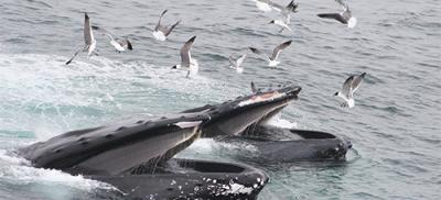 Two whales feeding. Seagulls flock around the whales as they breach the ocean surface.